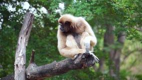 HD Gibbon scratch on tree stock footage
