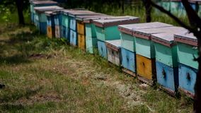 HD Honey Bee die rond Bijenkorven op het gebied vliegen stock video