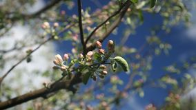 Apple fruit tree flower growing and blossoming on a dark blue background. HD macro time lapse video of an apple fruit tree flower growing and blossoming on a stock footage