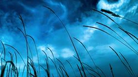 HD materiał filmowy ostrość, zamazująca biała trawa i piórka Pennisetum koloru Pennisetum misji lub polystachion kwitnie zdjęcie wideo