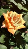 HD photo of an orange rose in an urban garden Royalty Free Stock Photos