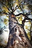 HD Picture of Large Leopard Tree Royalty Free Stock Photography