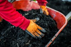 Man with red shirt is grabbing mulch inside of a red wheelbarrow stock images