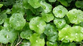 HD pieno foglia verde con goccia dell'acqua piovana con fondo verde natura verde per il fondo di freschezza stock footage