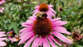 HD pszczoła na kwiacie Obrazy Royalty Free