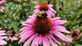 HD pszczoła na kwiacie zdjęcie stock