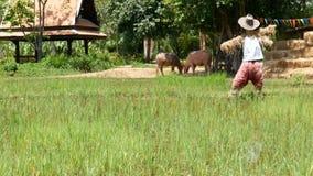 HD Reisfelder in Thailand, Südostasien Reisfeld und -stroh mit Vogelscheuche und zwei Kühen Landschaftslebensstil in Asien Tra stock footage
