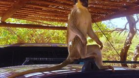 HD slow motion video of Macaque in Africa. HD slow motion video of Macaque in Senegal, Africa. The monkey is sitting on the car and he is scratching. He is stock video