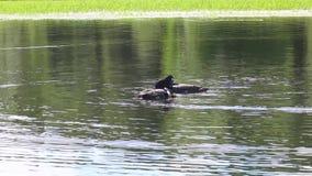 HD teledyska panning podążać rodziny loons pływa wpólnie na Northwoods Minnestoa jeziorze zbiory wideo