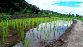 Hd Time Lapse  Rice Field slope landscape close up wide stock video footage
