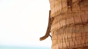 HD zamykają w górę wideo gekon Zwierzęca pozycja na palmie zbiory