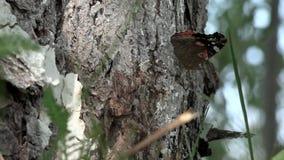 HD zbliżenie piękno motyl na drzewie Czerwonego admiral motyl na drzewie zdjęcie wideo