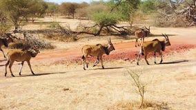 HD-Zeitlupevideo der riesigen Elenantilope, alias der Lord Derby-Elenantilope in der Bandia-Reserve, Senegal Es ist wildilfe stock video