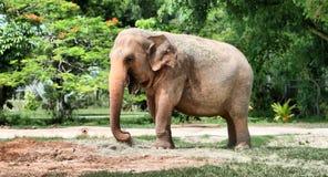 hdr слона Стоковое Изображение