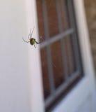 HDR黑寡妇蜘蛛前面寡妇 库存图片