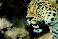 在高力学范围hdr的阿穆尔河豹子 库存照片