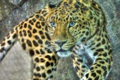 在高力学范围hdr的阿穆尔河豹子 免版税库存图片