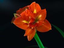 HDR AMARYLLIS dnia 5 MOKRY kwiat MAKRO- 1 zdjęcie royalty free