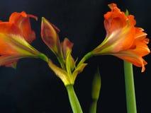 HDR AMARYLLIS dnia 5 SUCHY kwiat 2 zdjęcia royalty free