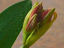 HDR Amaryllis kwiatu światła Mokry tło horyzontalny obrazy stock