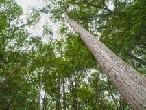 HDR-Bomen die omhoog een 45 graadhoek bekijken Stock Foto