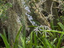 HDR Crinum lilies in frot of tree Royalty Free Stock Photography