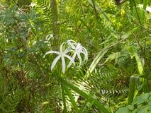 HDR Crinum lilies Stock Photo