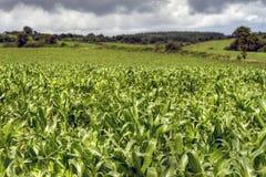 Hdr da cultura do milho Imagem de Stock Royalty Free