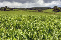 Hdr de culture de maïs Image libre de droits
