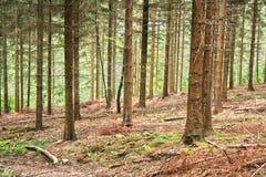 Hdr della foresta della conifera Fotografia Stock