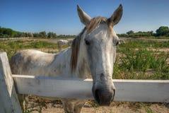 Hdr do cavalo de Camargue Fotografia de Stock