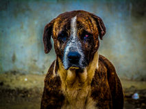 HDR of dog Royalty Free Stock Image