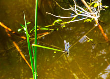 HDR Dragon fly Royalty Free Stock Photo