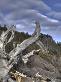 HDR Driftwood Root. Huge driftwood root photographed on a beach in southern British Columbia Royalty Free Stock Image