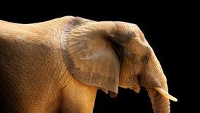 HDR Elefant getrennt auf Schwarzem Stockbilder