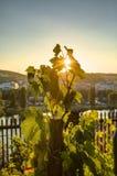 HDR-foto die van zonsondergangzon door de bladeren van wijnstok bij Vysehrad-wijngaard in Praag, Tsjechische republiek glanzen Stock Afbeeldingen