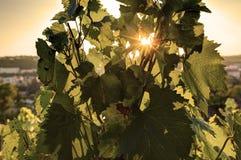 HDR-foto die van zonsondergangzon door de bladeren van wijnstok bij Vysehrad-wijngaard in Praag, Tsjechische republiek glanzen Stock Foto's
