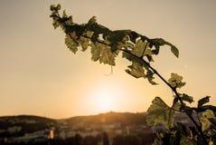 HDR-foto die van zonsondergangzon door de bladeren van wijnstok bij Vysehrad-wijngaard in Praag, Tsjechische republiek glanzen Royalty-vrije Stock Foto
