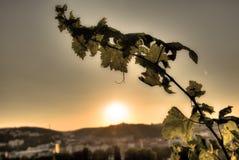 HDR-foto die van zonsondergangzon door de bladeren van wijnstok bij Vysehrad-wijngaard in Praag, Tsjechische republiek glanzen Stock Afbeelding