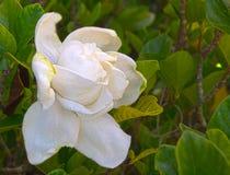 HDR gardenia fotografia royalty free