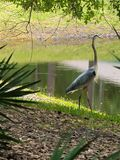 HDR Great blue heron standing near a pond stock photo