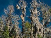 HDR Hiszpański mech na Cyprysowych drzewach przeciw żywemu niebieskiemu niebu obraz royalty free