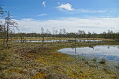 HDR image from the gloomy view of the Viru Raba bog with several Royalty Free Stock Photos
