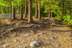 The HDR image of pines on the rock. Royalty Free Stock Photo