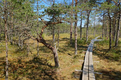 HDR image view of a narrow trail of planks passing through the Viru Raba bog in Estonia in forest of pines. On a summer day Stock Image