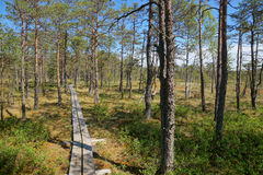 HDR image from the walking narrow trail of planks passing the Viru bog in Estonia in the rare forest of pines Royalty Free Stock Images