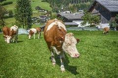 HDR-Kuh im Ackerland Lizenzfreie Stockfotografie