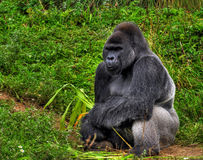 HDR Male Silver Gorilla. An HDR image of a male silver back gorilla sitting holding a piece of bamboo Stock Image
