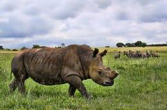 hdr nosorożec biel Obrazy Royalty Free