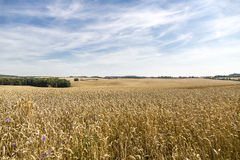 HDR panorama of a corn field. And dramatic sky Stock Image